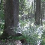 Hartholzauenwälder mit Stieleiche <em>(Quercus robur)</em>, Flatterulme <em>(Ulmus laevis)</em>, Feldulme <em>(Ulmus minor)</em>, Gewöhnlicher Esche <em>(Fraxinus excelsior)</em> oder Schmalblättriger Esche <em>(Fraxinus angustifolia)</em>